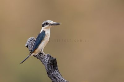 Red-backed Kingfisher (Todiramphus pyrrhopygius)