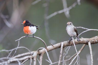 Red-capped Robin - Male & Female (Petroica goodenovii)