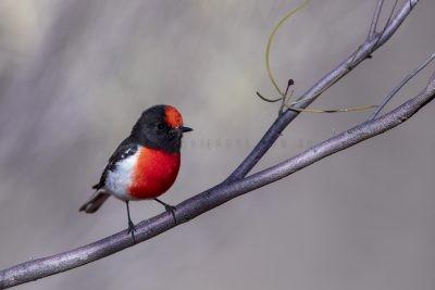 Red-capped Robin - Male (Petroica goodenovii),1.