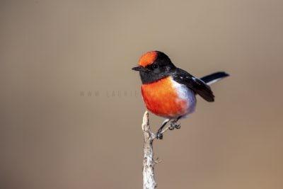 Red-capped Robin - Male (Petroica goodenovii),2