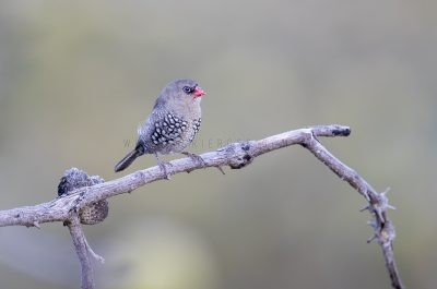 Red-eared Firetail - Juvenile