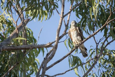 Red Goshawk - Female (Erythrotriorchis radiatus)1
