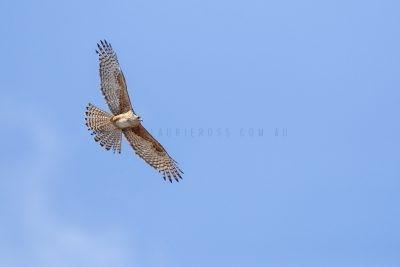 Red Goshawk - Female in flight