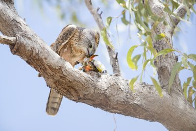 Red Goshawk - Female with Prey (Erythrotriorchis radiatus) - Northern Territory, NT