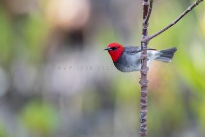 Red-headed Honeyeater - Male