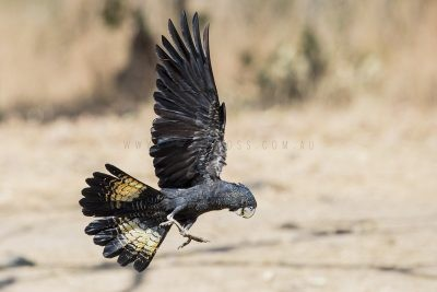 Red-tailed Black-cockatoo - Female in flight (Calyptorhynchus banksii)