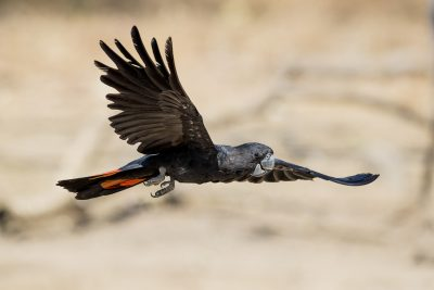 Red-tailed Black-cockatoo - Male in flight (Calyptorhynchus banksii)