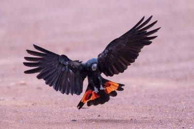 Red-tailed Black-cockatoo - Male Landing