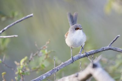 Red-winged Fairywren - Female (Malurus elegans)