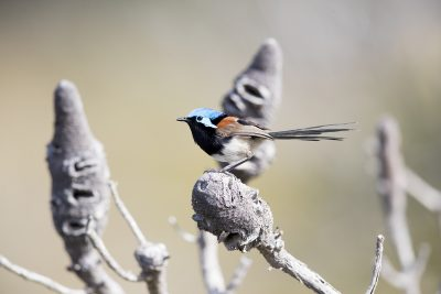 Red-winged Fairywren - Male (Malurus elegans)