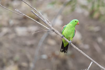 Red-winged Parrot (Male - Aprosmictus erythropterus) - Top Springs, NT