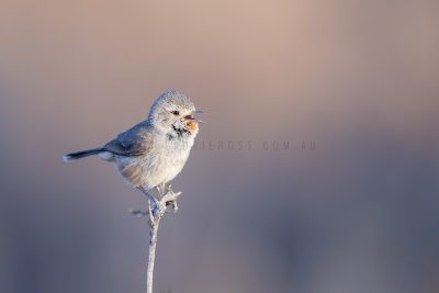 Redthroat - Male Singing.