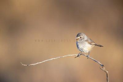 Redthroat - Male.1