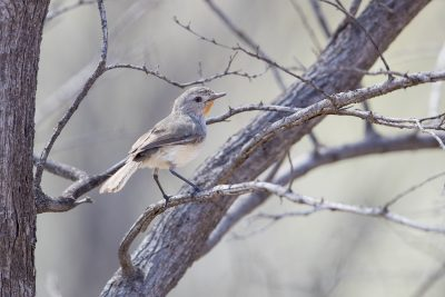 Redthroat (Pyrrholaemus brunneus)
