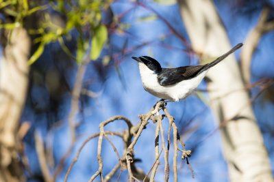 Restless Flycatcher (Myiagra inquieta inquieta)