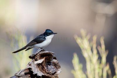 Restless Flycatcher (Myiagra inquieta inquieta).1