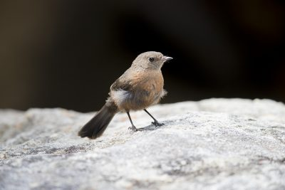 Rock Warbler (Origma solitaria) - Royal National Park, NSW