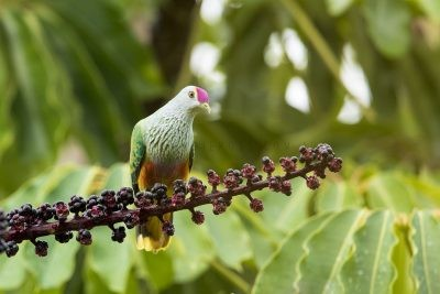 Rose-crowned Fruit-dove (Ptilinopus regina regina)