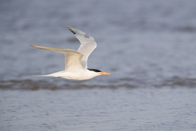 Royal Tern - In Flight (Thalasseus maximus)