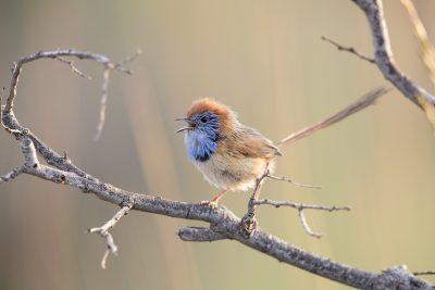 Rufous-crowned Emu-wren - Male (Stipiturus ruficeps) - Alice Springs, NT