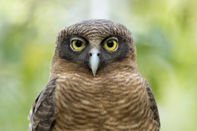 Rufous Owl - Close Up (Ninox rufa)