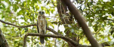 Rufous Owl - Fledgling Panoramic (Ninox Rufa)
