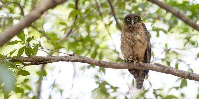 Rufous Owl (Ninox Rufa) Panoramic