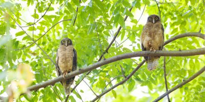 Rufous Owl Pair (Ninox rufa rufa) - Darwin Botanic Gardens