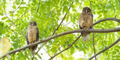 Rufous Owl Pair (Ninox rufa rufa) - Darwin Botanic Gardens1