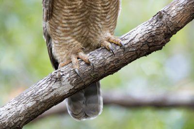 Rufous Owl - Talons (Ninox rufa)