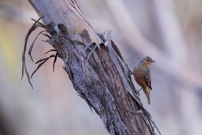 Lyrebirds, Scrub-birds and Australasian Treecreepers