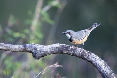 Rufous Whistler - Male (Pachycephala rufiventris falcata).1