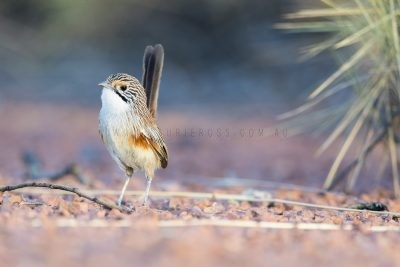 Rusty Grasswren - Female
