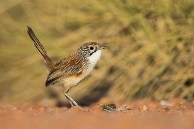 Rusty Grasswren - Female (A.m.rowleyi)