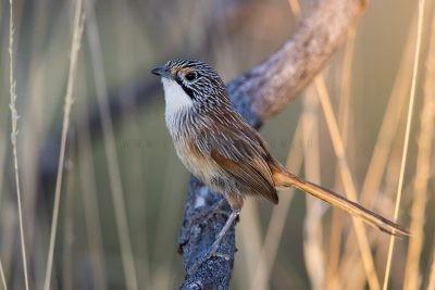 Rusty Grasswren - Male (A.m.rowleyi)