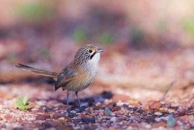 Rusty Grasswren - Male (A.m.rowleyi).2