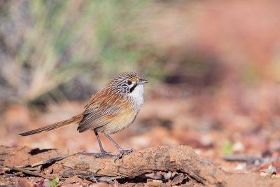 Rusty Grasswren - Male (A.m.rowleyi).3