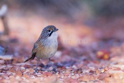 Rusty Grasswren - Male (A.m.rowleyi).4