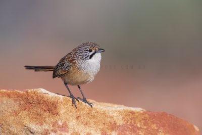 Rusty Grasswren - Male (A.m.rowleyi).6