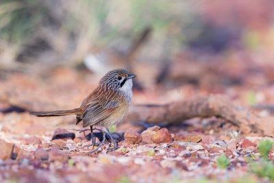 Rusty Grasswren - Male (A.m.rowleyi).8