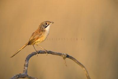 Rusty Grasswren - Male (A.m.rowleyi)1