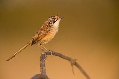 Rusty Grasswren - Male (A.m.rowleyi)2