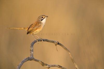 Rusty Grasswren - Male (A.m.rowleyi)3