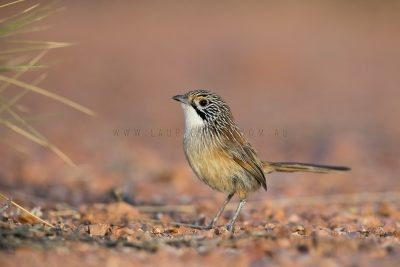 Rusty Grasswren - Male on ground (Amytornis rowleyi)