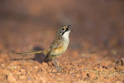 Rusty Grasswren - Male singing (Amytornis rowleyi)