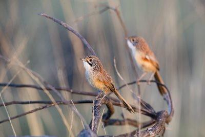 Rusty Grasswren - Pair (A.m.rowleyi)