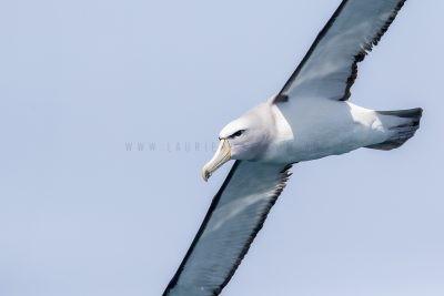Salvin's Albatross - Portrait