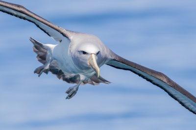 Salvin's Albatross - Portrait.