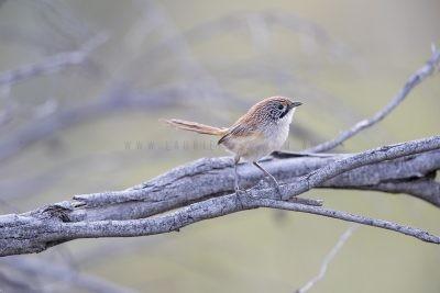 Sandhill Grasswren - Male (A.m.oweni)10
