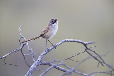 Sandhill Grasswren - Male (A.m.oweni)11